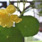 Yellow Garden Nasturtium Tropaeolun Flower Seeds 8 Seeds db