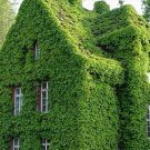 Parthenocissus Tricuspidata Seeds Ivy Seeds Green Creeper Seeds 20 seeds db
