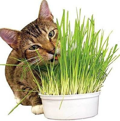 how to grow cat wheatgrass