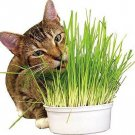 Cat Grass Seeds Kitten Grass Bonsai Grass Seeds 50 Seeds db