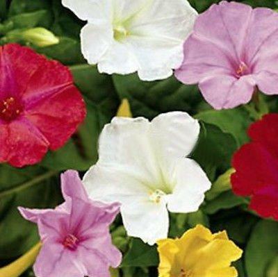 Four O'Clocks Marvel Seeds Garden Jasmine Flower Seeds mix 100 Seeds db