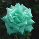 Mint Green Rose Flower Seeds rare Color Rose Seeds 200 Seedss db