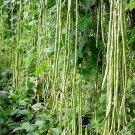 Lata Yard Long Bean Vegetable Seeds 20 Seeds