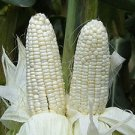 White waxy corn seeds  10 Seeds