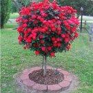 Red Rose tree Seeds  50 Seeds
