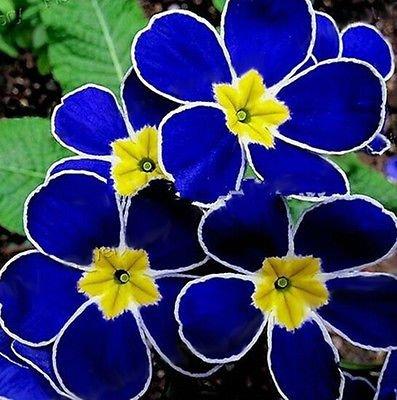 Blue Evening Primrose Seeds Flower Seeds 100 Seeds