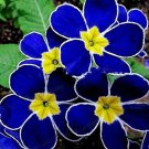 Blue Evening Primrose Seeds Flower Seeds 100 Seeds