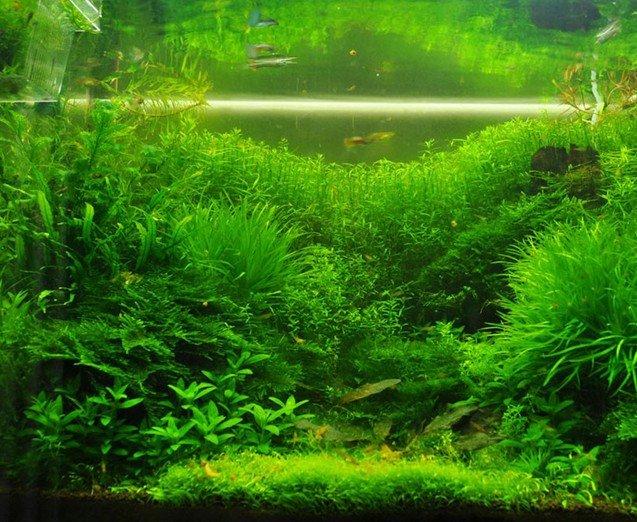 Aquarium Grass Aquatic Plant Seeds 500 Seeds