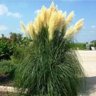 Yellow Cortaderia Grass Seed 500 Seeds