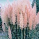 Pink  Cortaderia Grass Seed 500 Seeds