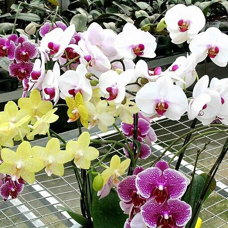 Phalaenopsis Flower Seeds Bonsai Plant Butterfly Orchid 10 Seeds