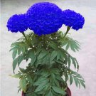 Blue Marigold Maidenhair Seeds Edible Flower  200 Seeds