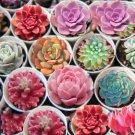 150pcs Mixed Succulent Seeds Lithops Living Stones Plants Cactus  Seeds
