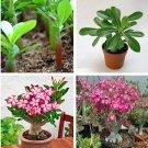 5Pcs Adenium Obesum Desert Rose Flower Plant Seeds