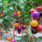 100Pcs Rainbow Tomato Seeds Colorful Bonsai Organic Vegetables Seed