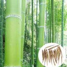 100Pcs Seeds Phyllostachys Pubescens Moso-Bamboo Seeds