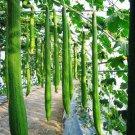 10 Long Luffa Seeds Sponge Cucumber Towel Gourd
