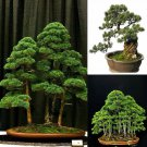 20pcs Japanese White Pine Pinus Parviflora Green Plants Tree Bonsai Seeds