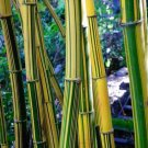 50 Yellow Green Bamboo Seeds