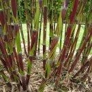 50 Chusquea Bamboo Seeds