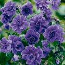 10 Double Purple Geranium Seeds Flowers Perennial