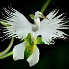 200 seeds Japanese White Egret Orchid Flowers Seeds White Dove Flower Seeds