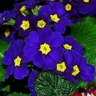 200 Seeds Blue Evening Primrose Flower Seeds Evening Perennial