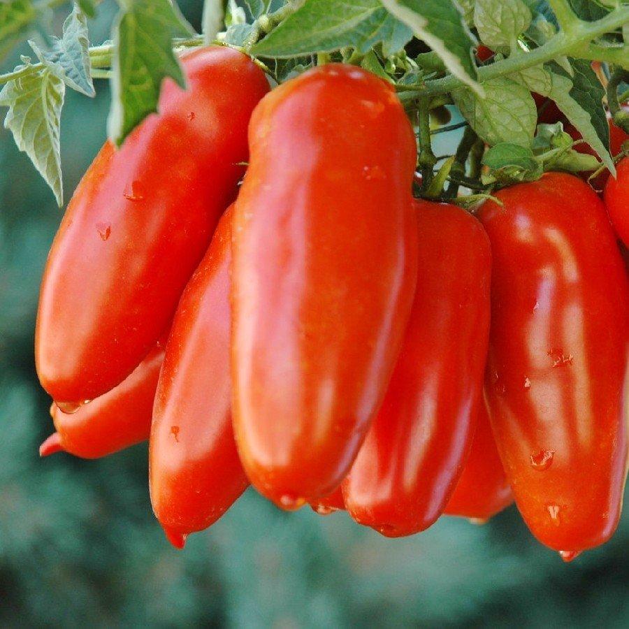 100+ San Marzano Tomato Seeds Heirloom Non-GMO Garden Seeds