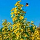 MAXIMILIAN Sunflower PERENNIAL 3-8' Butterflies Finches Love Non-GMO 50 Seeds! USA