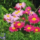 Painted Daisy ROBINSONS GIANT MIX Perennial Huge Cut Flowers Non-GMO 50 Seeds
