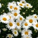 SHASTA DAISY Chrysanthemum Perennial Heirloom Flower Non-GMO 200 Seeds