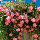 Pink Climbing Rose Bush 20 seeds