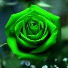 Bright Green Rose Rose Bush 20 seeds