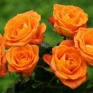 Orange Rose Bush 20 seeds