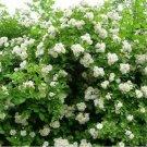 White Climbing Rose Bush 20 seeds