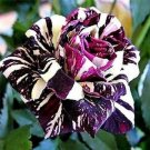 Black Dragon Rose Seeds 20