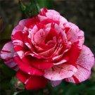 Red Dragon Rose Bush 20 seeds