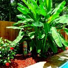 "10 ""DWARF"" Cavendish BANANA Tree Seeds (Musa acuminata) Tropical Fruit Plant seeds"