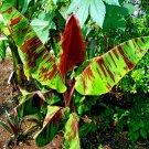 10 Red Tiger Darjeeling Banana Tree Seeds Sikkimensis Cold Hardy Tropical Fruit seeds