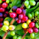 10 Coffea arabica Seeds Tropical EXOTIC Coffee Bean Plant seeds
