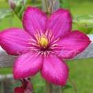 Clematis - Original Fine Art Photograph