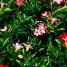 Desert Roses (50 Adenium Seeds)