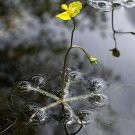 Utricularia Inflata (1 Inflated Bladderwort)