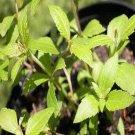 Calea Ternifolia (1 Dream Herb Cutting)