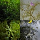 Aquatic Carnivorous (3 Utricularia Plants Mix)