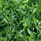 Justicia Pectoralis Var. Stenophylla (1 Live Tilo Plant)