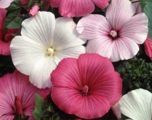ROSE MALLOW SEEDS MIXED PINK/WHITE 25 FRESH SEEDS