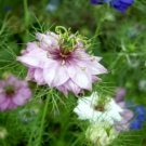 LOVE IN A MIST FLOWER SEEDS MIXED COLORS 50 FRESH SEEDS