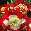 DANISH FLAG POPPY FLOWER SEEDS 100 FRESH SEEDS