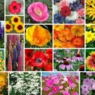 200 MIXED WILDFLOWER ALL PERENNIAL SEEDS